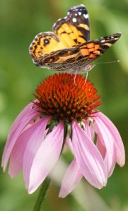 butterfly echinacea