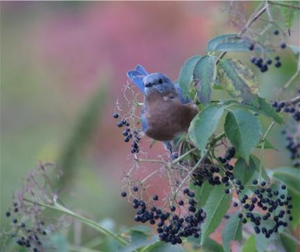 sharing the last of the elderberries